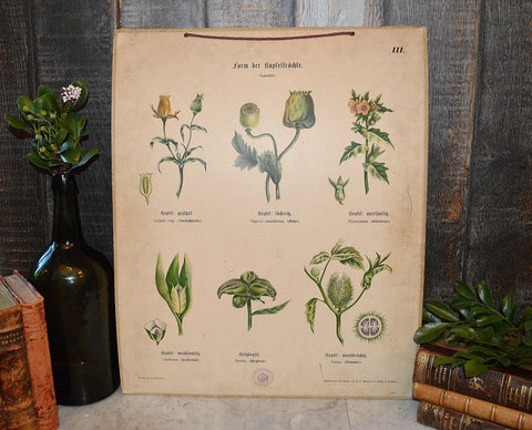 Antique German Botanical Wall Chart Lithograph Of Floral Plant Buds On Blackboard - Antique Flea Finds - 1