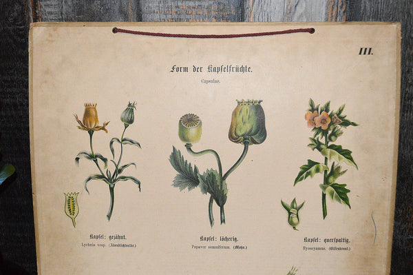 Antique German Botanical Wall Chart Lithograph Of Floral Plant Buds On Blackboard - Antique Flea Finds - 2