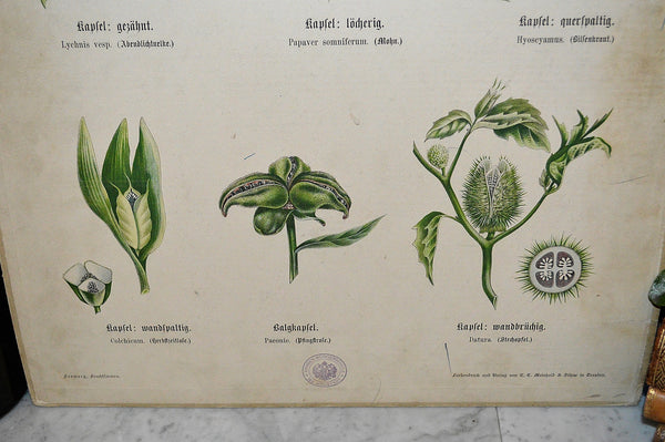 Antique German Botanical Wall Chart Lithograph Of Floral Plant Buds On Blackboard - Antique Flea Finds - 3