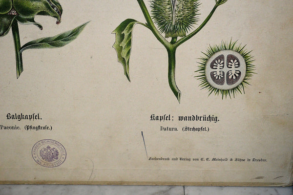 Antique German Botanical Wall Chart Lithograph Of Floral Plant Buds On Blackboard - Antique Flea Finds - 4
