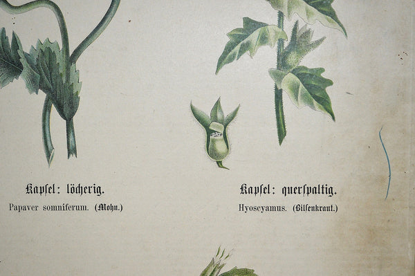 Antique German Botanical Wall Chart Lithograph Of Floral Plant Buds On Blackboard - Antique Flea Finds - 5