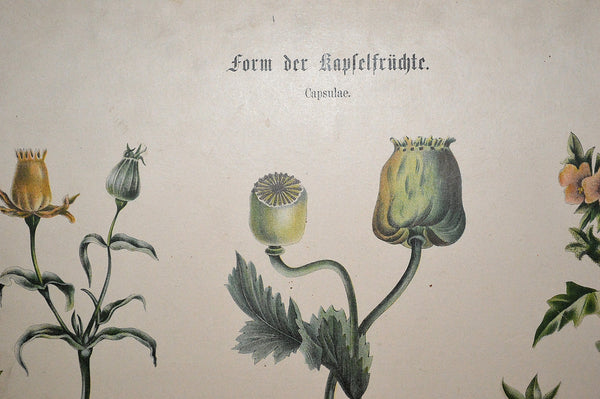 Antique German Botanical Wall Chart Lithograph Of Floral Plant Buds On Blackboard - Antique Flea Finds - 6