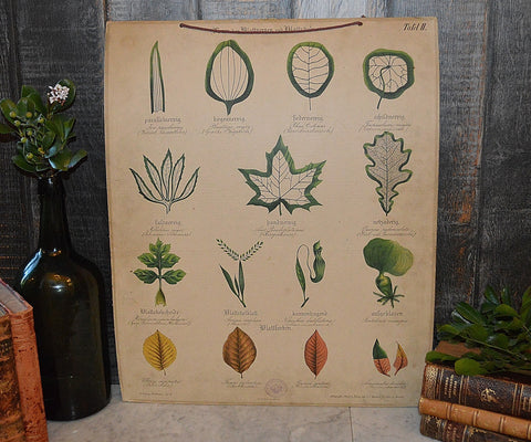 Antique German Botanical Wall Chart Lithograph of Leaves on Blackboard - Antique Flea Finds - 1