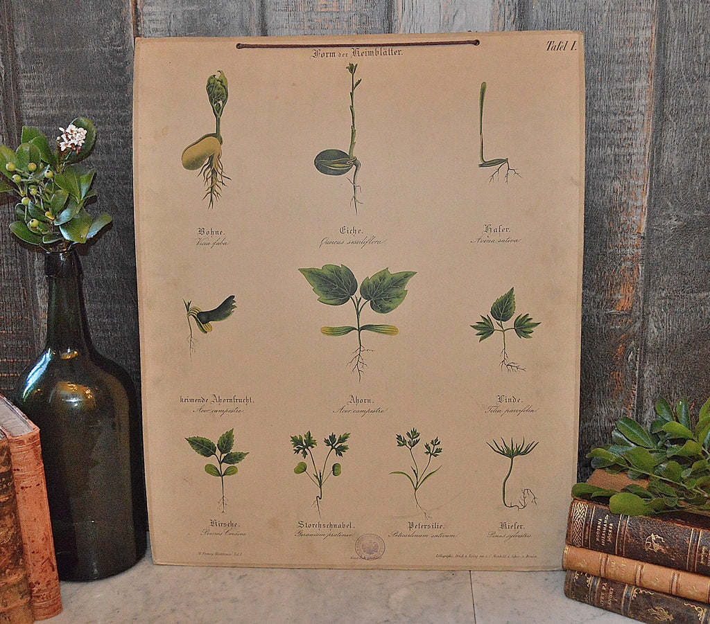 Antique German Botanical Wall Chart Lithograph Of Plant Stems Roots On Blackboard - Antique Flea Finds - 1