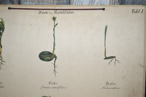 Antique German Botanical Wall Chart Lithograph Of Plant Stems Roots On Blackboard - Antique Flea Finds - 2
