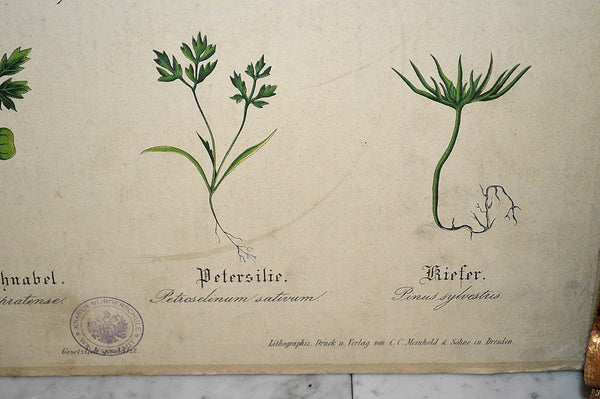 Antique German Botanical Wall Chart Lithograph Of Plant Stems Roots On Blackboard - Antique Flea Finds - 3