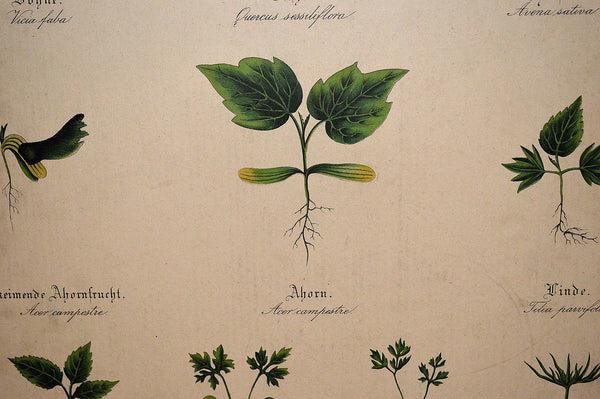 Antique German Botanical Wall Chart Lithograph Of Plant Stems Roots On Blackboard - Antique Flea Finds - 4