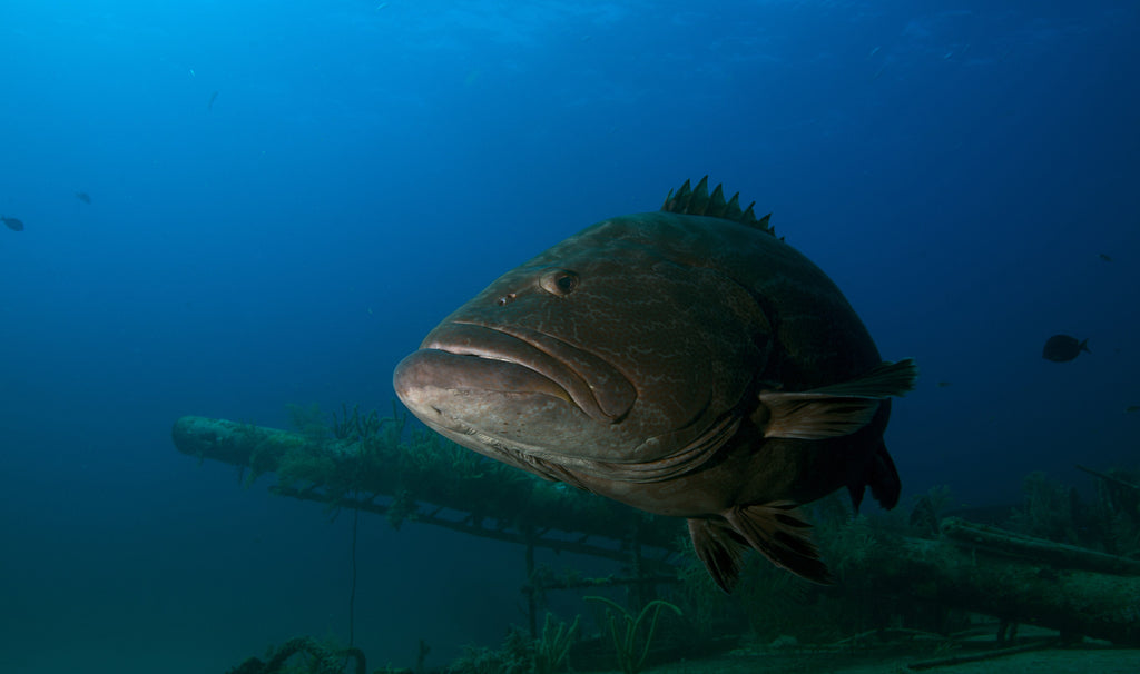 Goliath Groupers – Florida's Giants