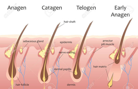Human hair growth cycle