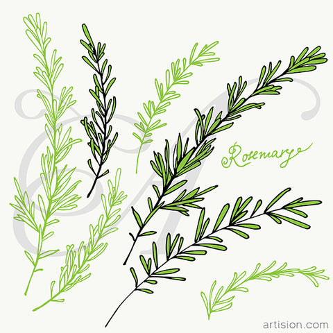 Rosemary Hand Drawn Vector