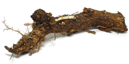 Highland HopYard Chinook Hop Rhizome