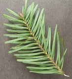 balsam fir fragrance