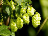 Hops Fragrance