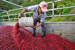 Nicaragua - Santa Luz Estate 'Pineapple Candy' - Yeast Fermented