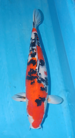 "#012 - 21"" Marusei Sanke -  Female - Import Japanese Koi - The Koi Store"