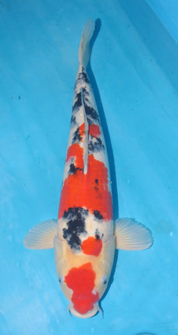 "#013 - 19.5"" Marusei Sanke -  Female - Import Japanese Koi - The Koi Store"