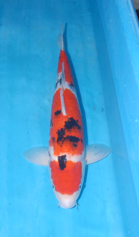 "#016 - 19.5"" Marusei Maruten Sanke -  Female - Import Japanese Koi - The Koi Store"