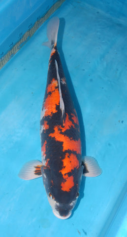 "#018 - 25"" Marusei Showa - Female - Import Japanese Koi - The Koi Store"