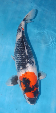 "#019 - 23.5"" Marusei Showa - Female - Import Japanese Koi - The Koi Store"