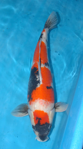 "#020 - 23.5"" Marusei Showa - Female - Import Japanese Koi - The Koi Store"