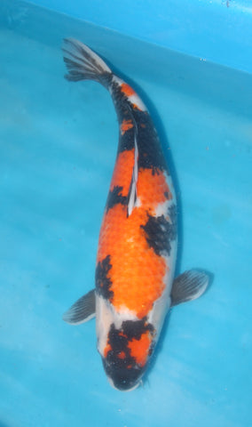 "#023 - 20"" Marusei Showa - Female - Import Japanese Koi - The Koi Store"