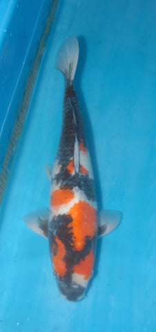 "#024 - 19"" Marusei Showa - Female - Import Japanese Koi - The Koi Store"