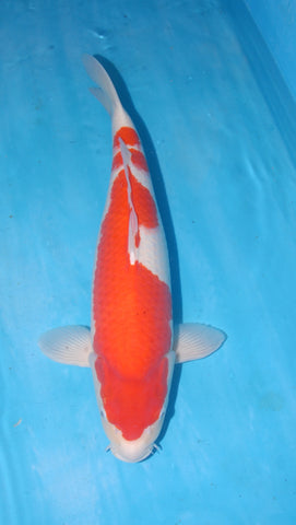 "#002 - 21.5"" Marusei Kohaku -  Female - Import Japanese Koi - The Koi Store"