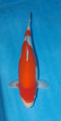 "#003 - 20"" Marusei Kohaku -  Female - Import Japanese Koi - The Koi Store"