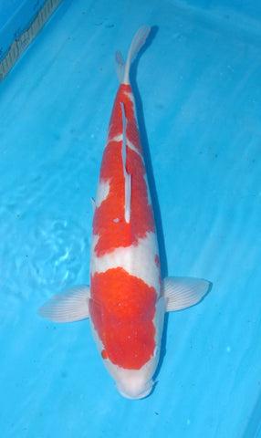 "#004 - 21"" Marusei Kohaku -  Female - Import Japanese Koi - The Koi Store"