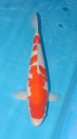 "#007 - 18"" Marusei Kohaku -  Female - Import Japanese Koi - The Koi Store"