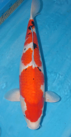 "#008 - 22.5"" Marusei Sanke -  Female - Import Japanese Koi - The Koi Store"