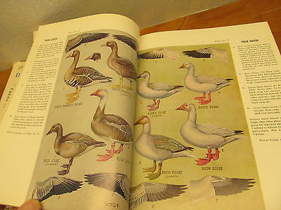 DUCKS, GEESE AND SWANS OF NORTH AMERICA BOOK - Andres James Vintage Boutique