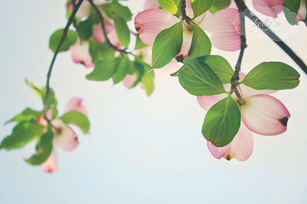Fresh- Pink Dogwood Photo - Kelly*N Photography - 1