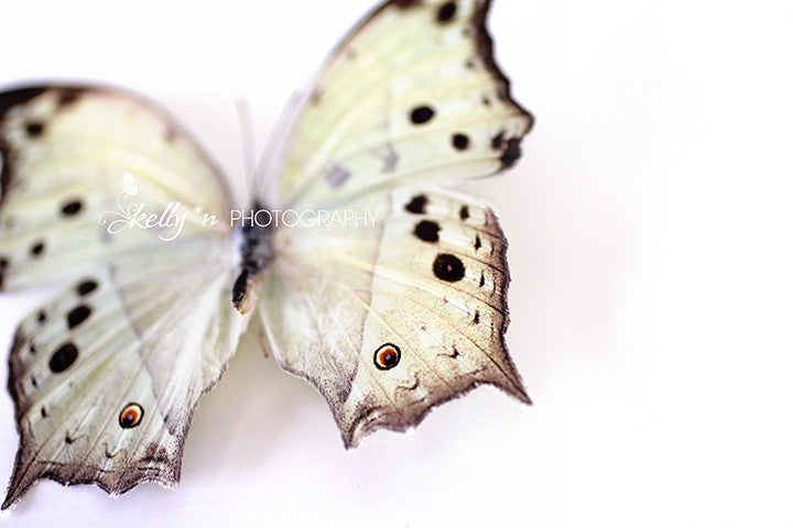 Mother of Pearl Butterfly - Butterfly Photograph - Kelly*N Photography - 1