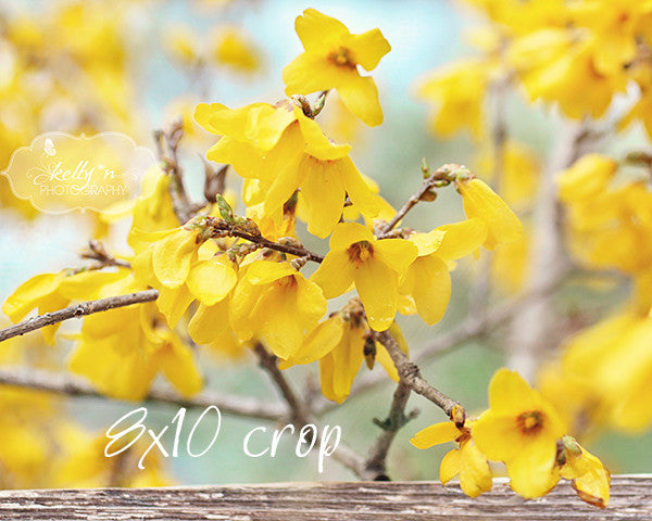 Spring Forsythia- Yellow Flower Photography - Kelly*N Photography - 3