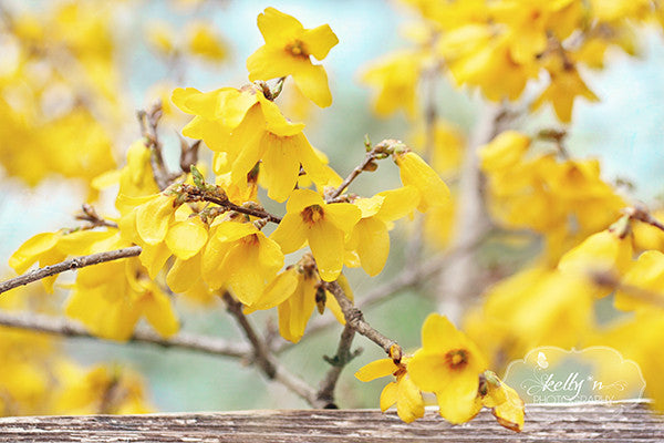 Spring Forsythia- Yellow Flower Photography - Kelly*N Photography - 1
