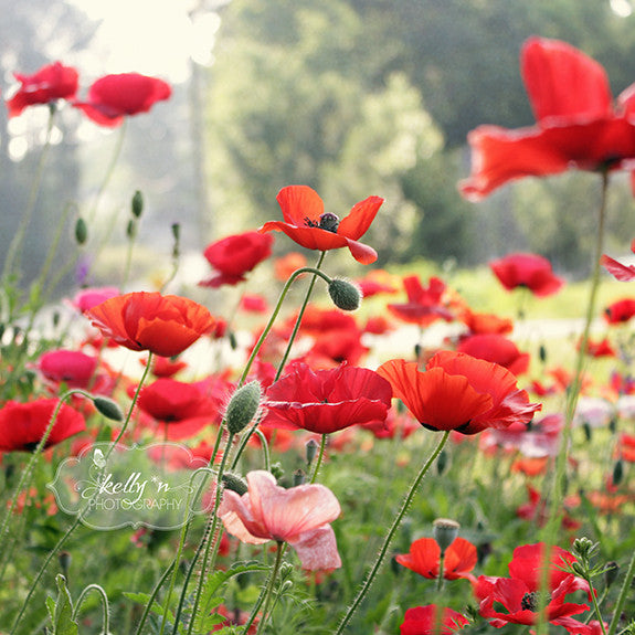 Spring Poppies- Red Flower Photography - Kelly*N Photography - 3