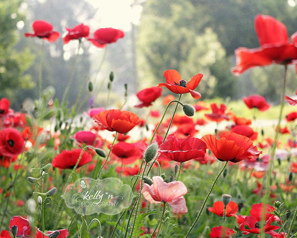 Spring Poppies- Red Flower Photography - Kelly*N Photography - 1