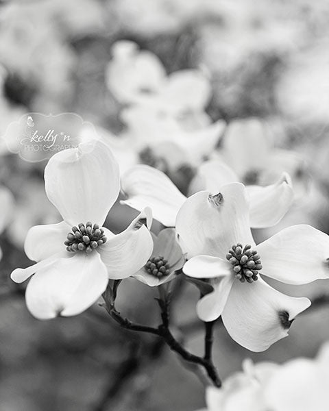 BW Dogwood Dance- Dogwood Flowers Photograph - Kelly*N Photography - 1