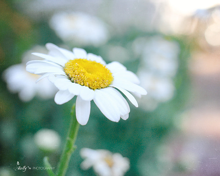 Daisy Day - Flower Photography