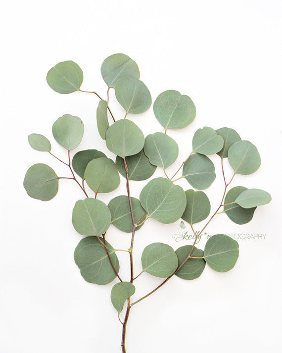 Eucalyptus Leaves 1 - Botanical Still Life