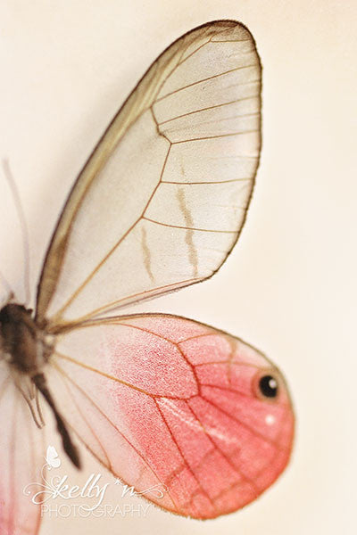Glasswing Pinks - Butterfly Photograph - Kelly*N Photography - 1