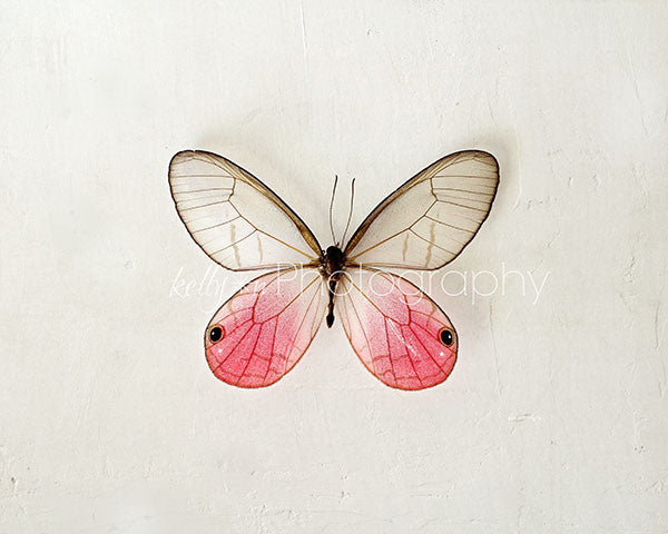 Pink Glasswing- Butterfly Photograph - Kelly*N Photography - 1
