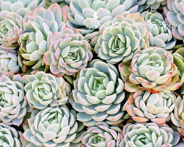 Succulent Roses 1- Succulents Photograph - Kelly*N Photography - 1