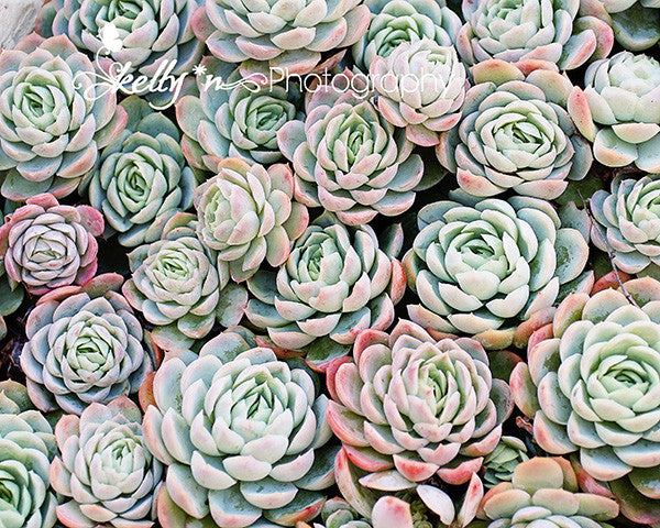 Succulent Roses 2- Succulent Photograph - Kelly*N Photography - 1
