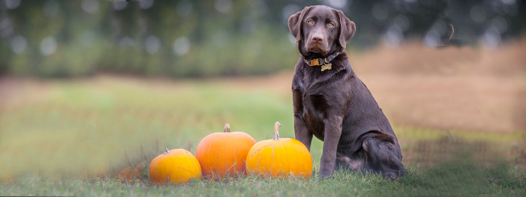 5 Tips for Keeping Your Dog Safe on Halloween