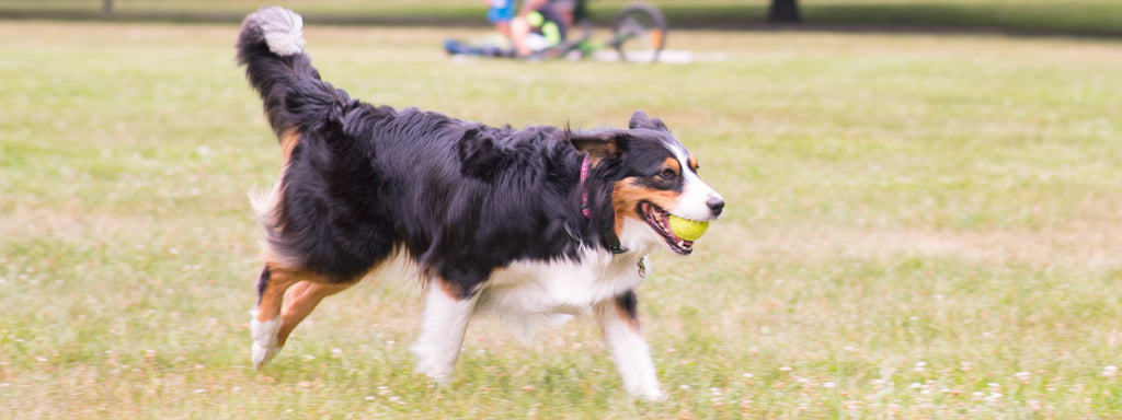 5 High Energy Dog Breeds for Runners