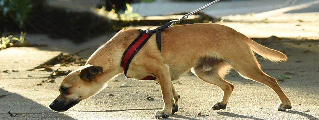 How to Train a Dog not to Pull on the Leash