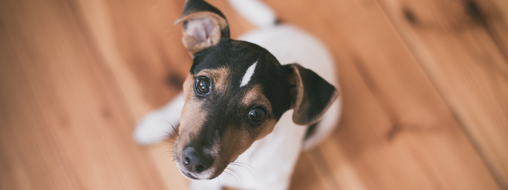 Jack Russell Terrier Breed Facts in Fewer than 250 Words