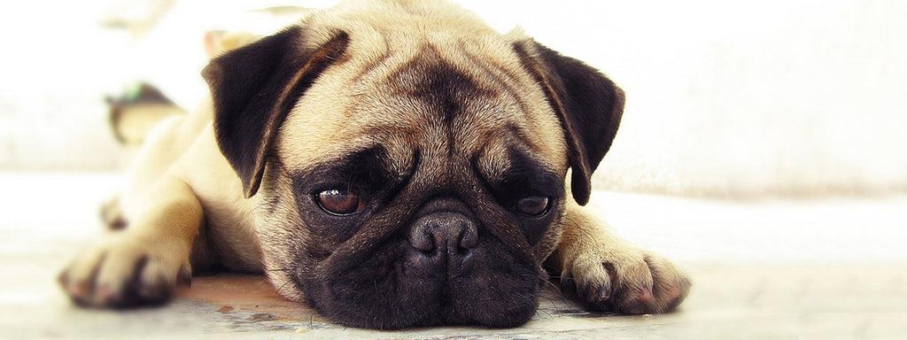Nausea in Dogs:  Why it Happens and What Pet Owners Can Do
